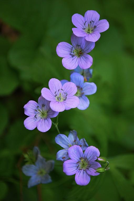 CROMWELL FLOWER